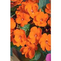 Impatiens ´New Guinea Magnifico® Orange´ / Netýkavka oranžová, K7