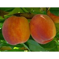 Prunus persica ´Inka´ / Broskyňa, GF 677