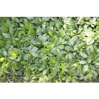 Gynostemma pentaphyllum / Jiaogulan, K7
