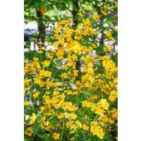 Kerria japonica ´Golden Guinea´ / Kéria japonská, 10-15 cm, K9