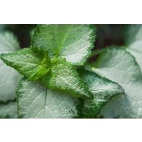 Lamium maculatum ´Beacon Silver´ / Hluchavka škvrnitá, K9