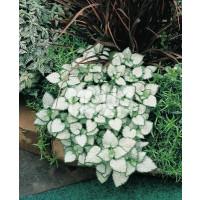 Lamium maculatum ´White Nancy´ / Hluchavka škvrnitá, K9