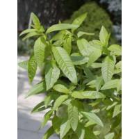 BIO Lippia citriodora ´Freshman´ / Citrónová lípia / Citrónový ker, K12