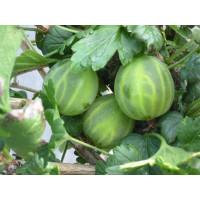 Ribes grossularia ´Mucurines®´ / Egreš rezistentný zelený, krík štepený, VK, 2-3 výh.