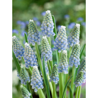 Muscari Peppermint / Modrica , bal. 10 ks, 8/9