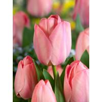 Tulipa ´Mystic van Eijk´ / Tulipán, bal. 5 ks, 11/12