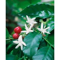 Coffea arabica / Kávovník arabský, 20 - 30 cm, K9