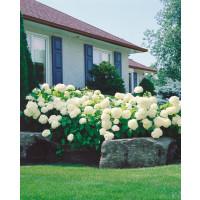 Hydrangea arborescens ´Annabelle´ / Hortenzia stromčekovitá, 20-30 cm, K12
