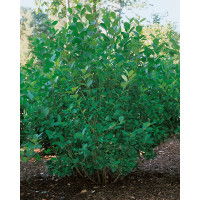 Aronia prunifolia ´Viking´ / Arónia slivkolistá, 40-50 cm, C3