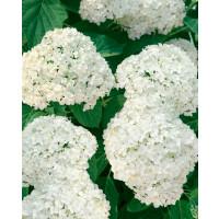 Hydrangea arborescens ´Grandiflora´ / Hortenzia stromčekovitá , 30-40 cm, C3