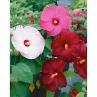 Hibiscus moscheutos / Ibištek bahenný zmes, bal. 5 s