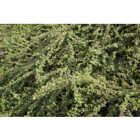 Cotoneaster dammeri  ´Coral Beauty´ / Skalník rozložený, 10-20 cm, K9