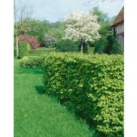 Carpinus betulus / Hrab obyčajný, bal. 10 ks VK na živý plot