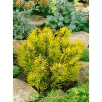 Pinus mugo ´Wintergold´ / Borovica horská, 15-20 cm, C3