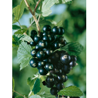 Ribes nigra ´Titania´ / Ríbezľa čierna, kmienok, 2-3 výh.