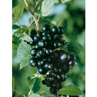 Ribes nigra ´Titania´ / Ríbezľa čierna, krík, 4-5 výh.
