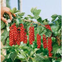 Ribes rubrum ´Rovada´ / Ríbezľa červená, kmienok, 2-3 výh., VK