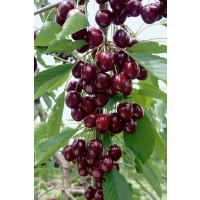 Prunus avium ´Kordia´ / Čerešňa, Colt