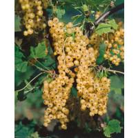 Ribes rubrum ´Primus´ / Biela ríbezľa, krík, 4-5 výh.
