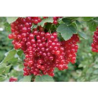 Ribes rubrum ´Red Lake´ / Červená ríbezľa, kmienok, 4-5 výh.