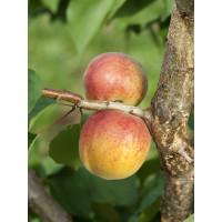 Prunus armeniaca ´Veľkopavlovická´ / Marhuľa stredne skorá, myr.