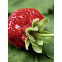 Fragaria ananassa ´Darselekt´ / Jahoda, bal. 6 ks, 6xK7