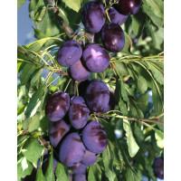 Prunus domestica ´Čačanská Najbolja´ / Slivka, wangen.