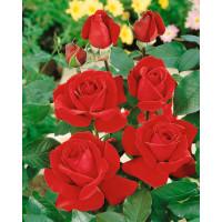 Rosa ´Mr. Lincoln´ / Ruža čajohybrid tmavočervená, krík, BK