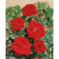 Rosa ´Clg. Don Juan´ / Ruža popínavá červená, krík, BK