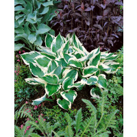 Hosta ´Patriot´ / Hosta / Funkia fialová, C1