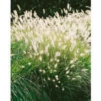 Pennisetum alopecuroides ´Hameln´ / Perovec, C1,5