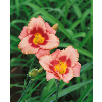 Hemerocallis 'Strawberry Candy' / Ľaliovka, K13