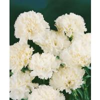 Dianthus ´Perfume Pinks® ´Memories´ / Voňavý klinček, bal. 6 ks sadbovačov