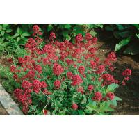 Centranthus ruber ´Coccineus´ / Centrant červený, K9