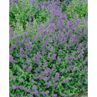Nepeta faasenii ´Six Hills Gigant´ / Kocúrnik záhradný, K9