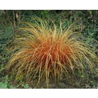Carex comans ´Bronze Perfection´ / Ostrica, K9