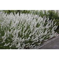Lavandula angustifolia ´Edelweis´ / Levanduľa úzkolistá, K9