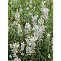 Lavandula angustifolia ´Sentivia® Silver´ / Levanduľa úzkolistá, C1,5