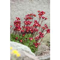Saxifraga arendsii ´Higlander Red´ / Lomikameň, C1,5