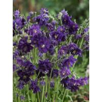 Aquilegia vulgaris Blue Barlow / Orlíček obyčajný, C1,5