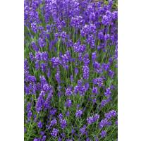 Lavandula angustifolia ´Munstead´ / Levanduľa lekárska, K9