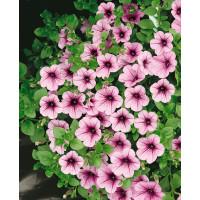 Petunia ´Surfinia Pink Vein 06´® / Petúnia, K7