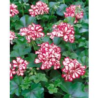 Pelargonium pelt. ´Mexicanerin´ / Muškát, K7