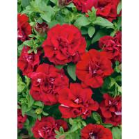 Petunia x atkinsiana ´Tumbelina®Inga´ / Petúnia plnokvetá červená, bal. 3 ks, 3x K7