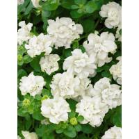 Petunia ´Double White Surfinia´® / Petúnia plnokvetá biela, bal. 3 ks, 3xK7