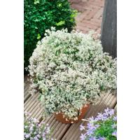 Euphorbia hypericifolia ´pac®Mont Blanc´ / Mliečnik ľubovníkolistý, K7