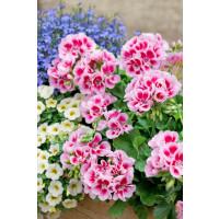 Pelargonium zonale ´pac®Flower Fairy® White Splash´ / Muškát krúžkovaný, K7