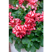 Pelargonium pelt. PAC® ´Mexica Ruby´ / Muškát, bal. 6 ks sadbovačov