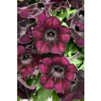 Petunia ´Crazytunia® Black Mamba´ / Petúnia, K7