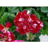 Pelargonium zonale ´pac®Spanish Wine® Burgundy´ / Muškát krúžkovaný, bal. 3 ks, 3x K7
